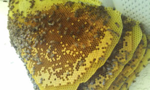 bee_hive_on_side_of_house_11_2_2016_pix2
