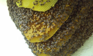 bee_hive_on_side_of_house_11_2_2016_pix3
