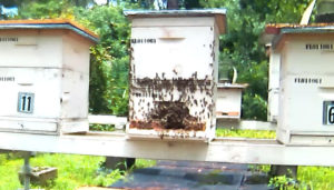 Bees after being moved into the apiary.