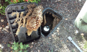 bee_removal_from_water_meter_9_14_2016_a