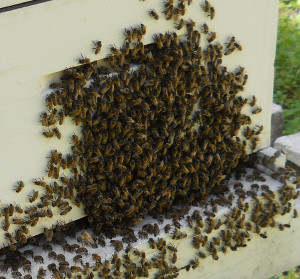 bees_hanging_out_hive_4