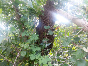 Good size hive in tree behind our apiary.